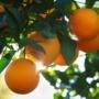 Kép 1/2 - Valencia  narancs termés