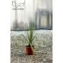 Kép 1/2 - Dasylirion serratifolium