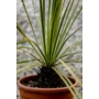 Kép 2/2 - Dasylirion serratifolium törzse
