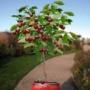 Kép 2/2 - Bigarreau Burlat cseresznye