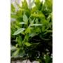 Kép 3/3 - Fűszerbabér - Laurus nobilis