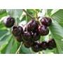 Kép 2/3 - Szomolyai fekete - Prunus avium