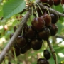 Kép 3/3 - Szomolyai fekete - Prunus avium