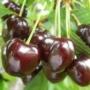 Kép 1/3 - cseresznye,szomolyai,fekete