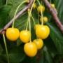 Kép 1/4 - dönissens,gelbe,cseresznye
