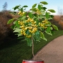 Kép 2/4 - Dönissens gelbe - Prunus avium dönissens