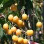 Kép 4/4 - Dönissens gelbe - Prunus avium dönissens