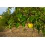 Kép 3/4 - goldcats almafa termése