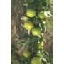 Kép 3/3 - greencats almafa termése