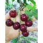 Kép 3/3 - Hedelfingeni óriás cseresznye