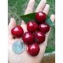 Kép 1/3 - Hedelfingeni óriás cseresznyefa