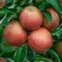 Kép 3/3 - jonagold almafa termése