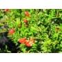 Kép 2/4 - törpe gránátalma bokor virága - puncia granatum eladó