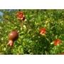 Kép 3/4 - törpe gránátalma bokor termés - puncia granatum eladó