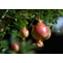 Kép 4/4 - törpe gránátalma bokor termése - puncia granatum eladó