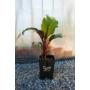 Kép 1/3 - Vörös Abesszin banán - Ensete ventricosum Maurelli