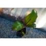 Kép 3/3 - Vörös Abesszin banán - Ensete ventricosum Maurelli