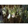 Kép 3/4 - indián banán pawpaw oltványok