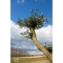Kép 3/4 - Bonsai pom-pom Olajfa - Olea europaea