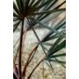 Kép 2/3 - bismarck pálma levele