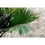 Kép 3/7 - Chilei mézpálma - Jubaea chilensis