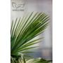 Kép 5/5 - kínai kenderpálma level cserépben, trahycarpus fortunei