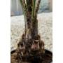Kép 2/4 - kocsánypálma töve, butia capitata cserépben