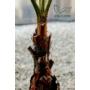 Kép 3/5 - mexikói legyezőpálma szára, washingtonia robusta cserépben