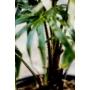 Kép 2/2 - Ausztrál legyezőpálma szára - Livistona australis