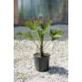 Kép 1/3 - Japán kenderpálma - Trachycarpus wagnerianus cserépben 75-80 cm