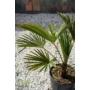 Kép 3/3 - japán kenderpálma Trachycarpus wagnerianus levele