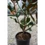 Kép 2/3 - Örökzöld magnólia - Liliomfa - Magnolia grandiflora törzse