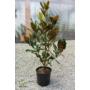 Kép 1/3 - Örökzöld magnólia - Liliomfa - Magnolia grandiflora