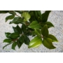 Kép 3/3 - Örökzöld magnólia - Liliomfa - Magnolia grandiflora levele