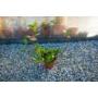 Kép 2/4 - Hoya Carnosa - Viaszvirág