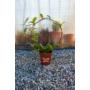 Kép 1/4 - Hoya Carnosa - Viaszvirág