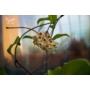 Kép 3/4 - Hoya Carnosa - Viaszvirág