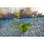 Kép 4/4 - Hoya Carnosa - Viaszvirág