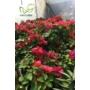 Kép 2/2 - Murvafürt - Bougainvillea virága