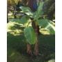Kép 3/3 - japán banán - musa basjoo