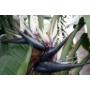Kép 2/2 - kék papagályvirág