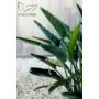Kép 2/4 - pompás papagályvirág