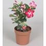 Kép 1/2 - sivatagi rózsa 14 cm-es cserépben 25-30 cm magas