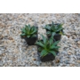 Kép 1/3 - Agave victoriae-reginae