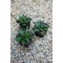 Kép 2/3 - Agave victoriae-reginae