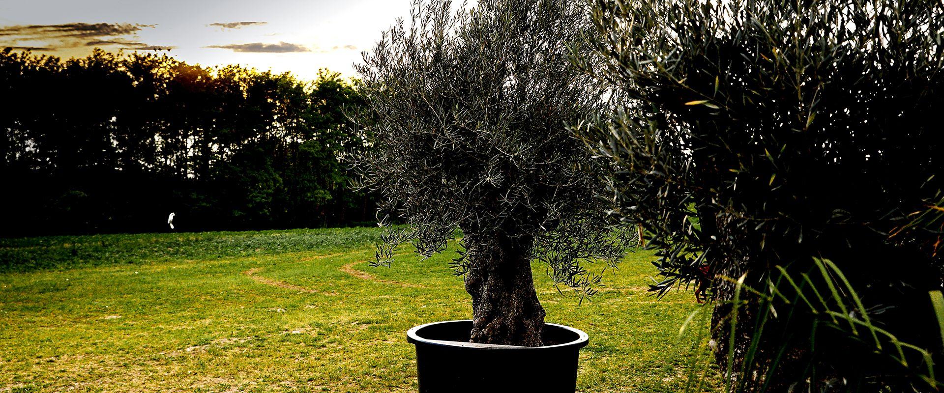 Rendelj otthonra olajfát
